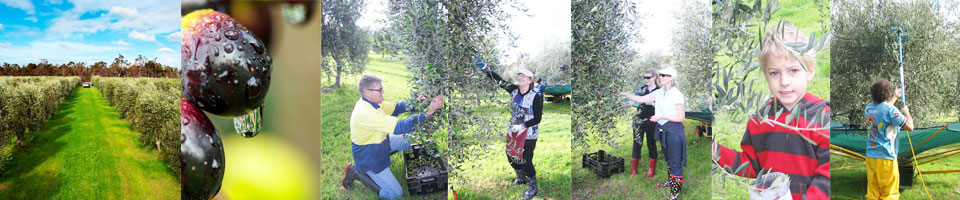 Picking-for-EVOO